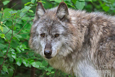 Wolf Photograph - Portrait Of A Grey Wolf by Louise Heusinkveld