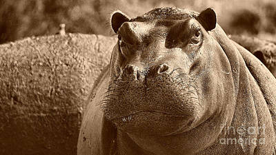 Photograph - Portrait Of A Hippo by Mareko Marciniak