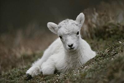 Rocky Mountain Goat Photograph - Portrait Of A Juvenile Rocky Mountain by Michael S. Quinton