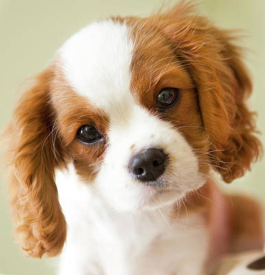 Colored Background Photograph - Portrait Of A King Charles Spaniel Puppy. by Marcy Maloy