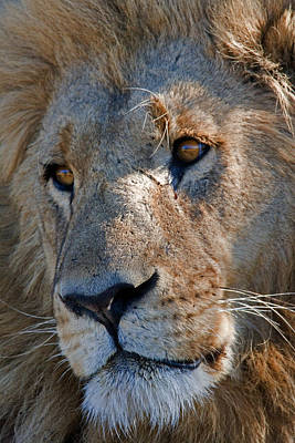 Portrait Of A Male African Lion Art Print by Beverly Joubert