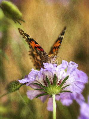 Lady Butterfly Photograph - Portrait Of A Painted Lady by Saija  Lehtonen