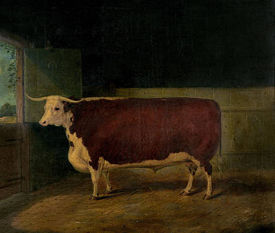 Hereford Painting - Portrait Of A Prize Hereford Steer by Richard Whitford