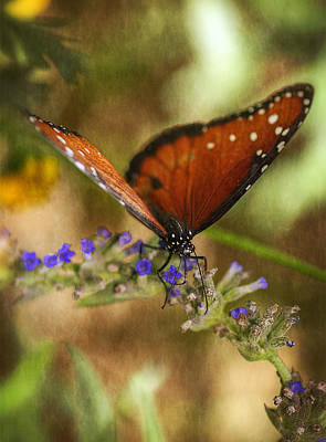 Queen Butterfly Photograph - Portrait Of A Queen  by Saija  Lehtonen