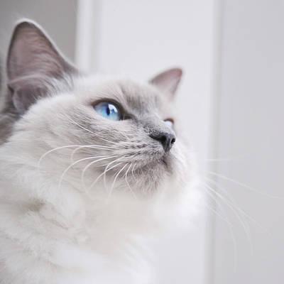 Portrait Of A Ragdoll Cat Art Print