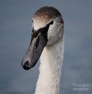 Photograph - Portrait Of A Swan by Doug Thwaites