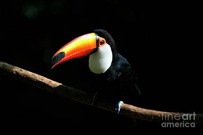 Part Of Photograph - Portrait Of A Toco Toucan by Keith Kapple