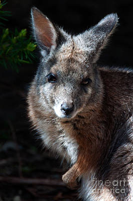 Perth Zoo Photograph - Portrait Of A Wallaby by Rob Hawkins