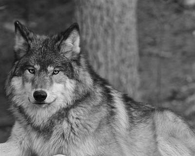 Photograph - Portrait Of A Wolf by Kate Purdy