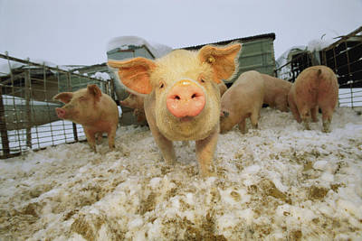 Portrait Of A Young Pig In A Snowy Pen Print by Joel Sartore