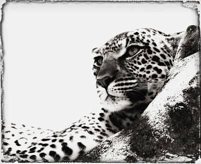 Portrait Of An African Leopard Art Print by Carson Ganci