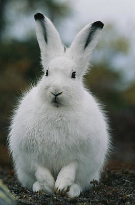 Portrait Of An Arctic Hare Art Print by Norbert Rosing