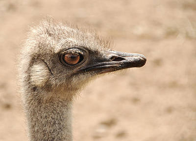 Portrait Of An  Ostrich Art Print by Laura Melis