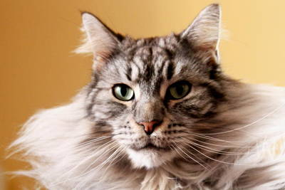 Y120817 Photograph - Portrait Of Cat by Mangini Photography