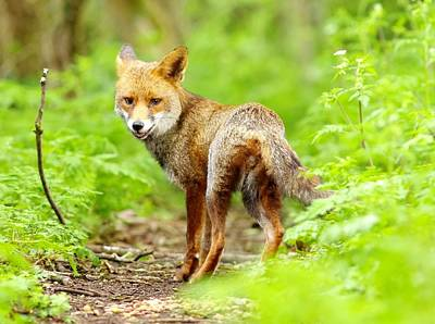 Swindon Photograph - Portrait Of Fox by Gary Chalker