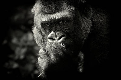 Focus On Foreground Photograph - Portrait Of Gorilla by MarkBridger