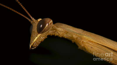 Photograph - Portrait Of Praying Mantis by Mareko Marciniak