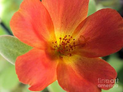 Photograph - Portulaca Flower by Tammy Herrin