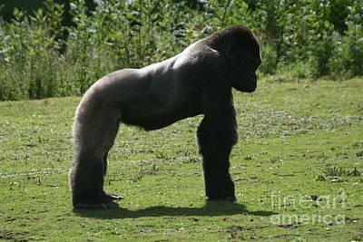 Posing Gorilla Art Print by Carol Wright