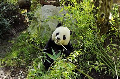 Posing Panda Art Print by John  Greaves