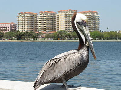 Photograph - Posing Pelican by RobLew Photography