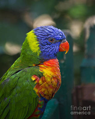 Photograph - Posing Rainbow Lorikeet. by Clare Bambers