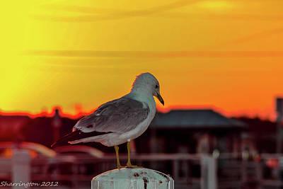 Photograph - Posing Seagull by Shannon Harrington
