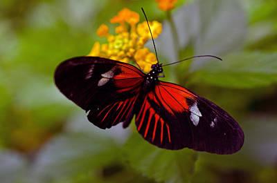 Postman Butterfly Art Print by Cheryl Cencich