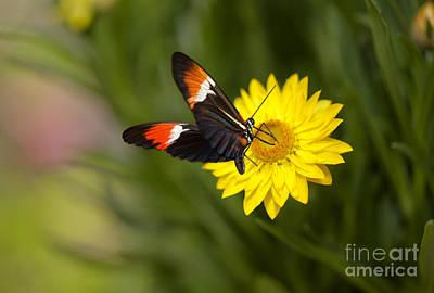 Postman Butterfly On Yellow Straw Flower Art Print