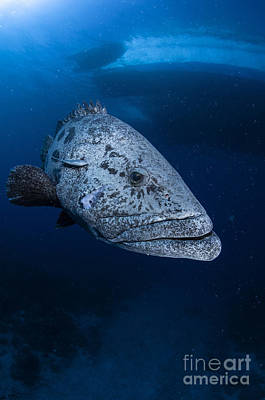 Potato Grouper, Australia Art Print