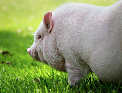 Piglets Photograph - Potbelly Pig by Christopher Jenkins  c/o www.luckyshotphotos.com