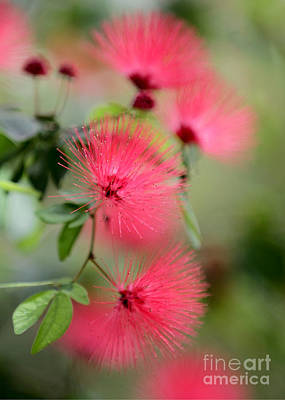 Florida Flowers Photograph - Powder Puff Flowers by Sabrina L Ryan