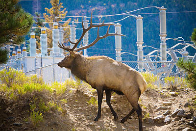 Animal Photograph - Powerful Bull Elk by James BO  Insogna