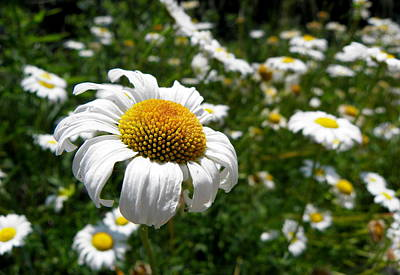 Photograph - Prairie Daisies 1 by Griffin Harris