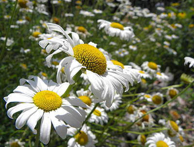 Photograph - Prairie Daisies 2 by Griffin Harris