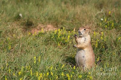 Photograph - Prairie Dog Eating Grass by Olivier Steiner
