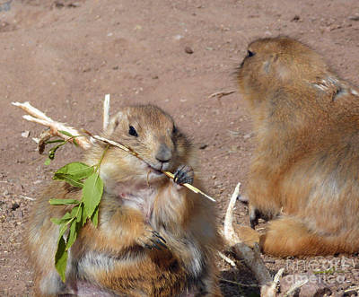 Photograph - Prairie Dogs by Methune Hively
