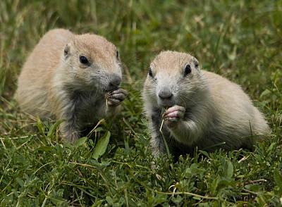 Genus Photograph - Prairie Dogs by Wade Aiken