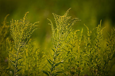 Travel - Prairie Goldenrod by Steve Gadomski