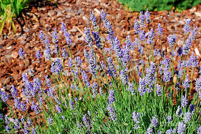 Photograph - Prairie Lupines At Mount St. Helens - Washington by Connie Fox