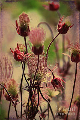 Photograph - Prairie Smoke by Alyce Taylor