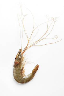 Y120831 Photograph - Prawn With Big Whiskers by Olive