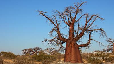 Photograph - Praying Baobab by Mareko Marciniak