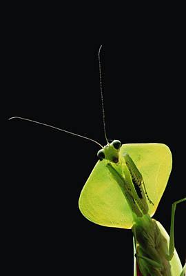 Photograph - Praying Mantis Mantis Sp, Los Cedros by Gerry Ellis