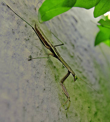 Photograph - Praying Mantis by Michael Friedman