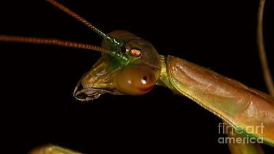 Photograph - Praying Mantis Portrait by Mareko Marciniak