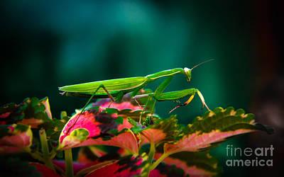Photograph - Praying Mantis by Robert Bales