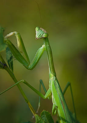 Photograph - Praying Mantis by Steve Zimic