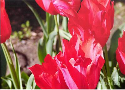 Photograph - Praying Tulips by Rod Ismay