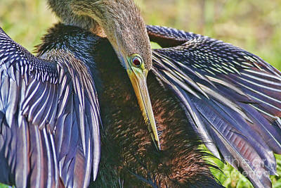 Anhinga Wall Art - Photograph - Preen Clean by Deborah Benoit